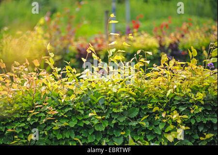 common beech (Fagus sylvatica), beech hedge, Netherlands - Stock Photo