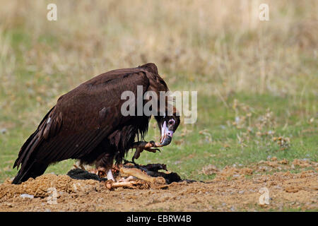 cinereous vulture (Aegypius monachus), immature bird eats a dead sheep, Spain, Extremadura - Stock Photo