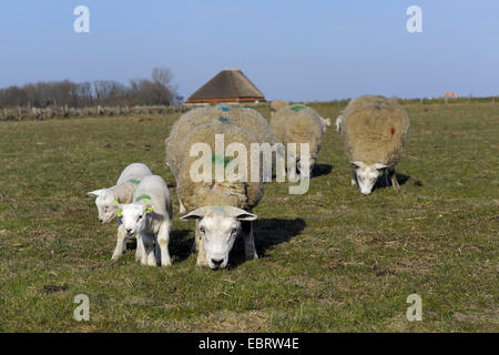 Texel sheep (Ovis ammon f. aries), sheep and lambkins in a pasture, Netherlands, Texel - Stock Photo