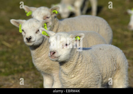 Texel sheep (Ovis ammon f. aries), lambkins in a meadow, Netherlands, Texel - Stock Photo
