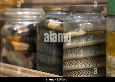 Yellow-bellied rat snake, Indo-Chinese rat snake  (Ptyas korros), preserved snakes in a formaldehyde solution, Thailand, - Stock Photo