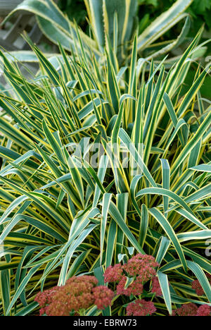 adam 39 s needle weak leaf yucca yucca filamentosa rock. Black Bedroom Furniture Sets. Home Design Ideas