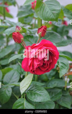 Bluete (Rosa 'Ascot', Rosa Ascot), cultivar Rosa 'Ascot' - Stock Photo