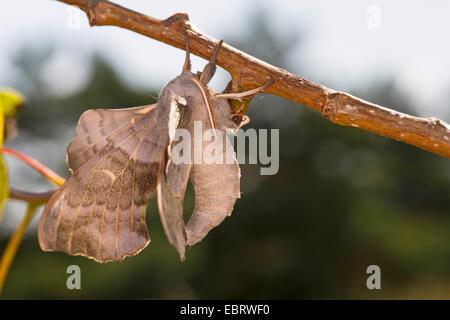 Poplar Hawk-moth, Poplar Hawkmoth (Laothoe populi, Sphinx populi), male at a stem, Germany - Stock Photo