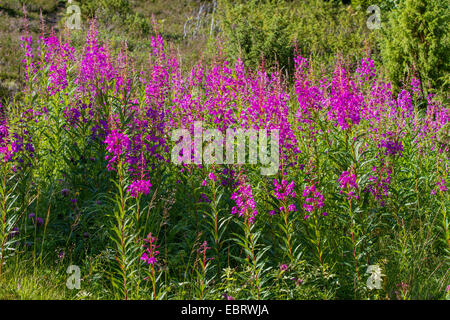 Fireweed, blooming sally, Rosebay willow-herb, Great willow-herb (Epilobium angustifolium, Chamerion angustifolium), - Stock Photo