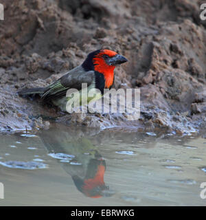 Black-collared barbet (Lybius torquatus), sitting at a waterhole, South Africa, Mkuzi Game Reserve - Stock Photo