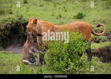 lion (Panthera leo), lioness has captured a gnu calf, Tanzania, Serengeti National Park - Stock Photo