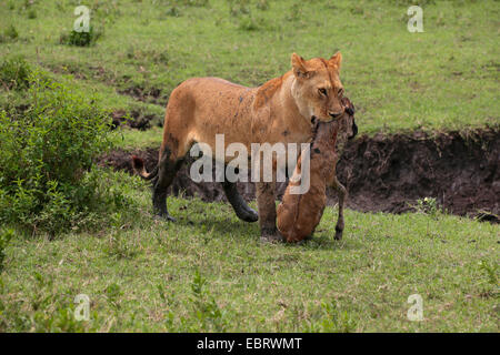 lion (Panthera leo), lioness carrying a catched wildebeest calf in the mouth, Tanzania, Serengeti National Park - Stock Photo