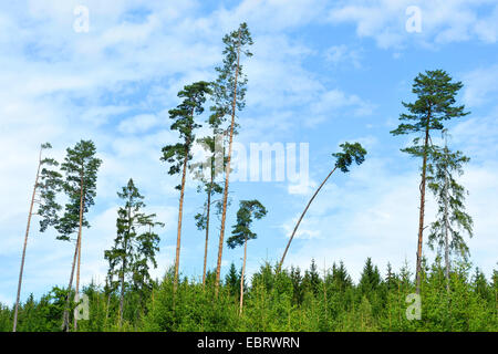 Scotch pine, Scots pine (Pinus sylvestris), some Scots pines standing out of a Norway spruce forest in summer, Germany, - Stock Photo