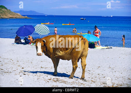 domestic cattle (Bos primigenius f. taurus), Cow on a beach of Macinaggio in north of Corsica island, France, France, - Stock Photo