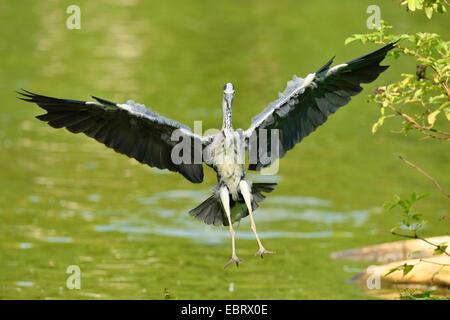 grey heron (Ardea cinerea), landing in a pond, Germany, Bavaria - Stock Photo
