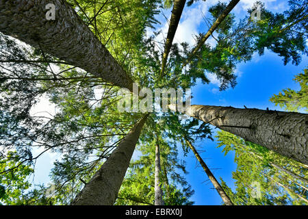 Norway spruce (Picea abies), view from below into the crowns of a spruce forest, Germany, Bavaria, Oberpfalz - Stock Photo
