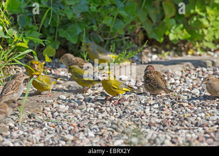 western greenfinch (Carduelis chloris), with tree sparrow at a feeding site, feed grains on the ground, Germany - Stock Photo