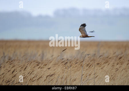 Marsh harrier (Circus aeruginosus) adult male floating over reedbeds at RSPB Blacktoft Sands, East Yorkshire. April. - Stock Photo