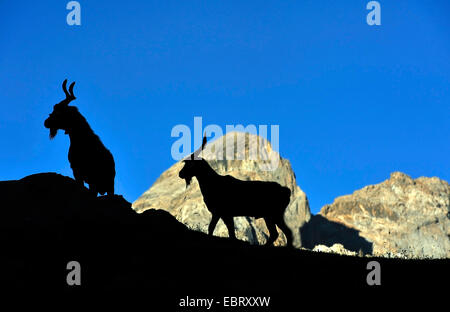 domestic goat (Capra hircus, Capra aegagrus f. hircus), two goats in the french Alps, silhouette, France, Savoie - Stock Photo