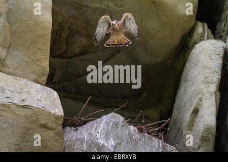 European Kestrel, Eurasian Kestrel, Old World Kestrel, Common Kestrel (Falco tinnunculus), young kestrel takes off - Stock Photo