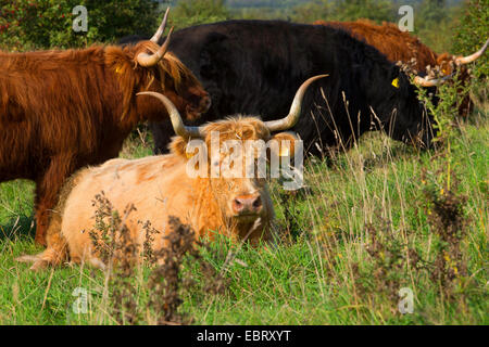 Scottish Highland Cattle (Bos primigenius), cow standing ...