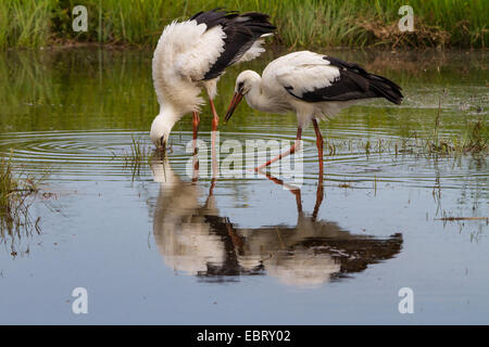 white stork (Ciconia ciconia), two young white storks on the feed in a pond, Switzerland, Sankt Gallen, Rheineck - Stock Photo