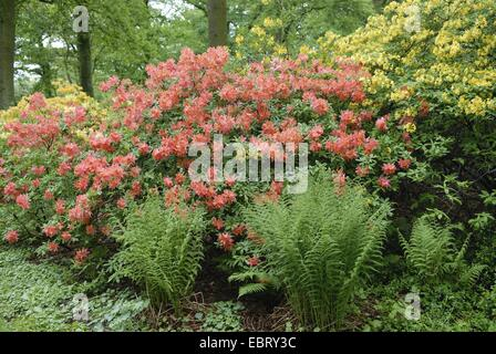 Yellow Azalea (Rhododendron luteum, Rhododendron flavum, Azalea pontica), hybridn - Stock Photo