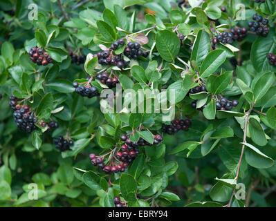 black chokeberry aronia melanocarpa with berries. Black Bedroom Furniture Sets. Home Design Ideas