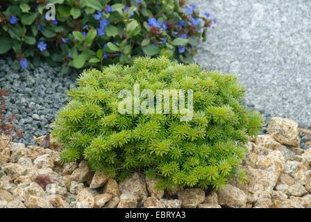 Korean fir (Abies koreana 'Cis', Abies koreana Cis), cultivar Cis - Stock Photo
