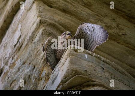 European Kestrel, Eurasian Kestrel, Old World Kestrel, Common Kestrel (Falco tinnunculus), young kestrel begs on - Stock Photo