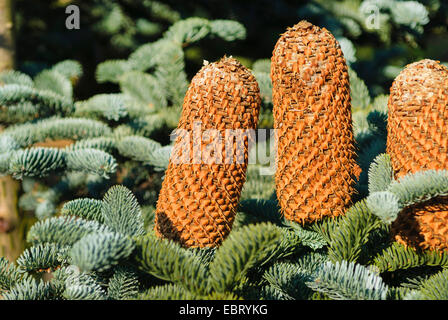 Noble fir, Red fir, White fir (Abies procera 'Glauca', Abies procera Glauca, Abies nobilis), Branch with cones, - Stock Photo