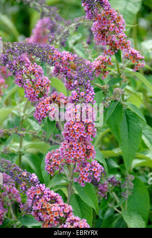 orange eye butterfly bush violet butterfly bush buddleja davidii stock photo royalty free. Black Bedroom Furniture Sets. Home Design Ideas