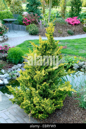 Japanese cypress, Hinoki cypress, Hinoki (Chamaecyparis obtusa 'Fernspray Gold', Chamaecyparis obtusa Fernspray - Stock Photo