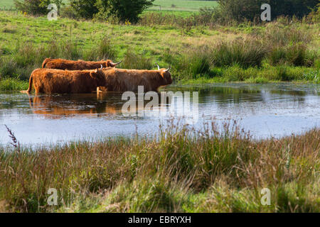 Highland Cattle cooling off in village pond at Hanworth ...
