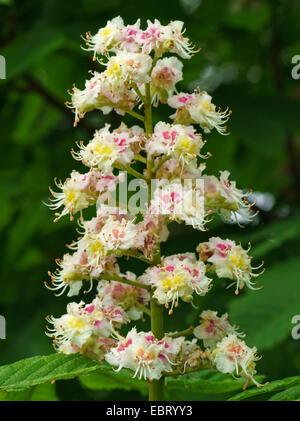 common horse chestnut (Aesculus hippocastanum), inflorescence, Germany, Bavaria - Stock Photo