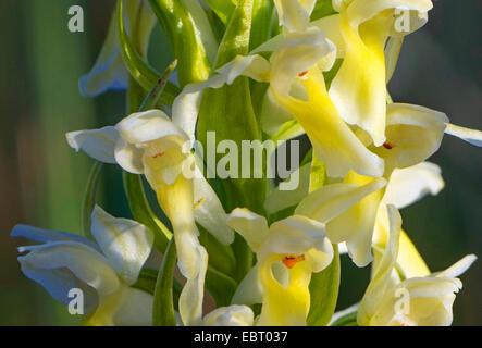 cuckoo flower (Dactylorhiza ochroleuca, Dactylorhiza incarnata ssp. ochroleuca, Dactylorhiza incarnata var. straminea), - Stock Photo