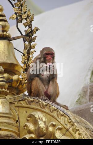 rhesus monkey, rhesus macacque (Macaca mulatta), Swayambhunath, Monkey Temple, stupa, sitting ape, Nepal, Kathmandu - Stock Photo