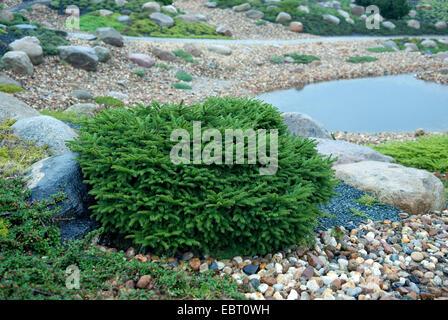 Norway spruce (Picea abies 'Nidiformis', Picea abies Nidiformis), cultivar Nidiformis - Stock Photo