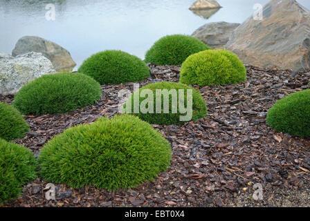 mountain pine, mugo pine (Pinus mugo pumilio, Pinus mugo var. pumilio), topiary - Stock Photo