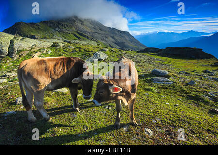 aurochs (domestic cattle) (Bos taurus, Bos primigenius), two cows on alpine pasture, Switzerland, Grisons, Engadine - Stock Photo