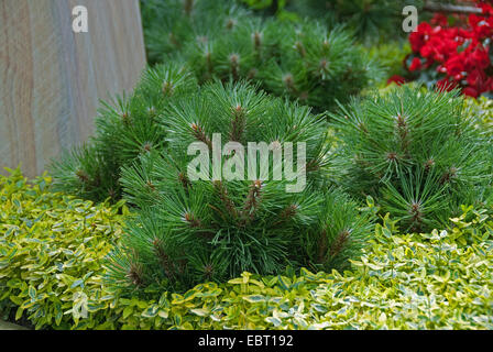 European black pine, Austrian pine, Black Pine, Corsican Pine (Pinus nigra 'Helga', Pinus nigra Helga), cultivar - Stock Photo