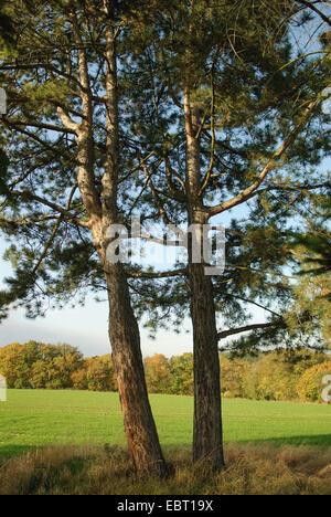 European black pine, Austrian pine, Black Pine, Corsican Pine (Pinus nigra), two trees in front of a field, Germany - Stock Photo