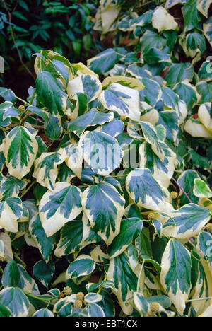 Persian Ivy, Colchis Ivy (Hedera colchica 'Dentata Variegata', Hedera colchica Dentata Variegata), cultivar Dentata Variegata