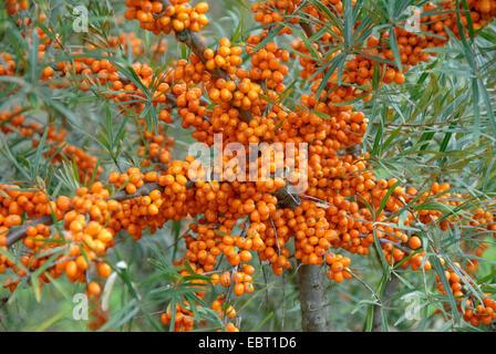 common seabuckthorn (Hippophae rhamnoides 'Orange Energy', Hippophae rhamnoides Orange Energy), cultivar orange - Stock Photo