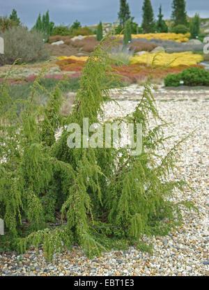 juniper (Juniperus communis 'Wilsede', Juniperus communis Wilsede), cultivar Wilsede - Stock Photo