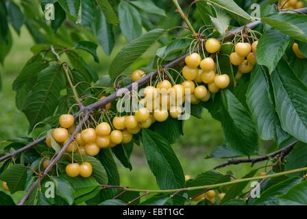 Cherry tree, Sweet cherry (Prunus avium 'Najella', Prunus avium Najella), cultivar Najella - Stock Photo