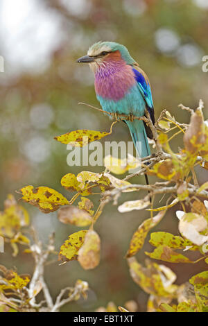 lilac-breasted roller (Coracias caudata), sitting on a branch, South Africa, Krueger National Park - Stock Photo
