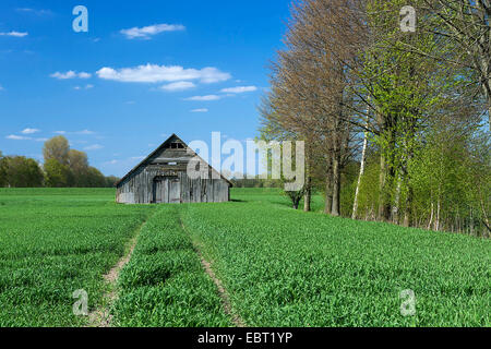 barn in a cornfield, Germany, Lower Saxony, Oldenburger Muensterland, Carum - Stock Photo