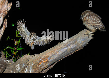 little owl (Athene noctua), approaching a branch with a squeeker with mouse in a claw, Germany, North Rhine-Westphalia, - Stock Photo