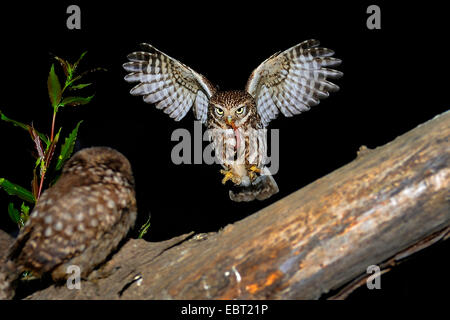 little owl (Athene noctua), approaching a branch with a squeeker with worm in a claw, Germany, North Rhine-Westphalia, - Stock Photo