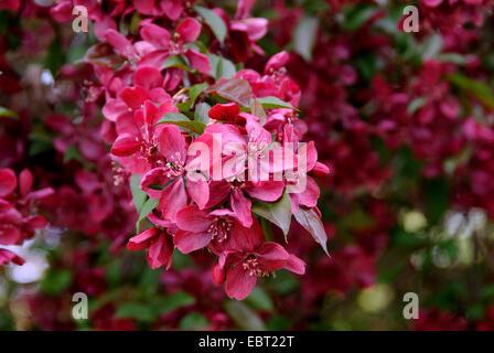 ornamental apple tree (Malus 'Royalty', Malus Royalty), cultivar Royalty, blooming - Stock Photo