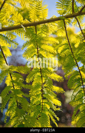 dawn redwood (Metasequoia glyptostroboides 'Gold Rush', Metasequoia glyptostroboides Gold Rush), branches of cultivar - Stock Photo
