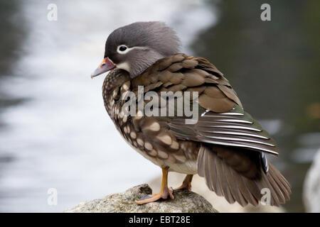 Female Mandarin Duck - Stock Photo