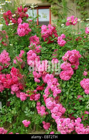 rosa 39 excelsa 39 rambler rose stock photo royalty free. Black Bedroom Furniture Sets. Home Design Ideas